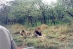 Thornybush - Leões